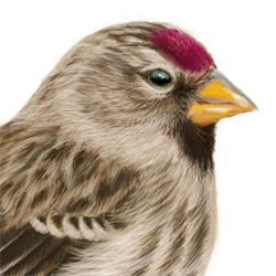 Common Redpoll Head Illustration