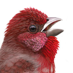 Common Rosefinch Head Illustration.jpg