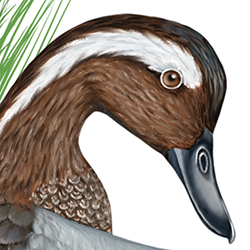 Garganey Head Illustration