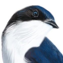 House Martin Head Illustration