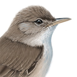Reed Warbler Head Illustration