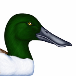 Shoveler Head Illustration