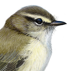 Willow Warbler Head Illustration