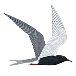 Black Tern Flight Illustration
