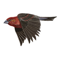 Common Rosefinch Flight Illustration.jpg