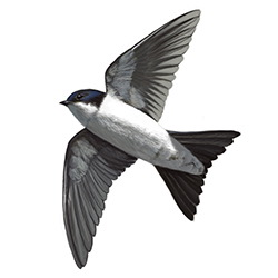 House Martin Flight Illustration