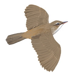 Reed Warbler Flight Illustration