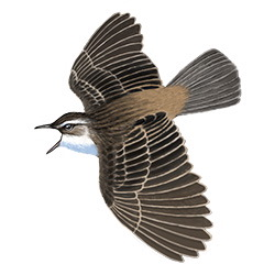 Sedge Warbler Flight Illustration