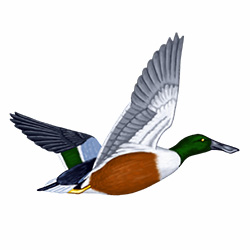 Shoveler Flight Illustration