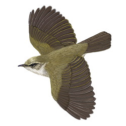 Willow Warbler Flight Illustration