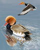 Red-crested Pochard Thumbnail