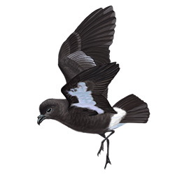 Storm Petrel Flight Illustration