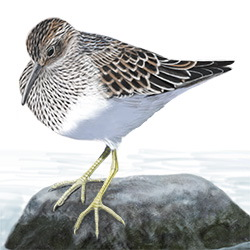Pectoral Sandpiper Body Illustration