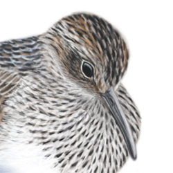 Pectoral Sandpiper Head Illustration