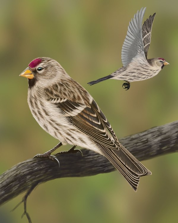 Common Redpoll_CEPortrait_1200