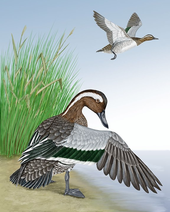 Garganey_CEPortrait_1200