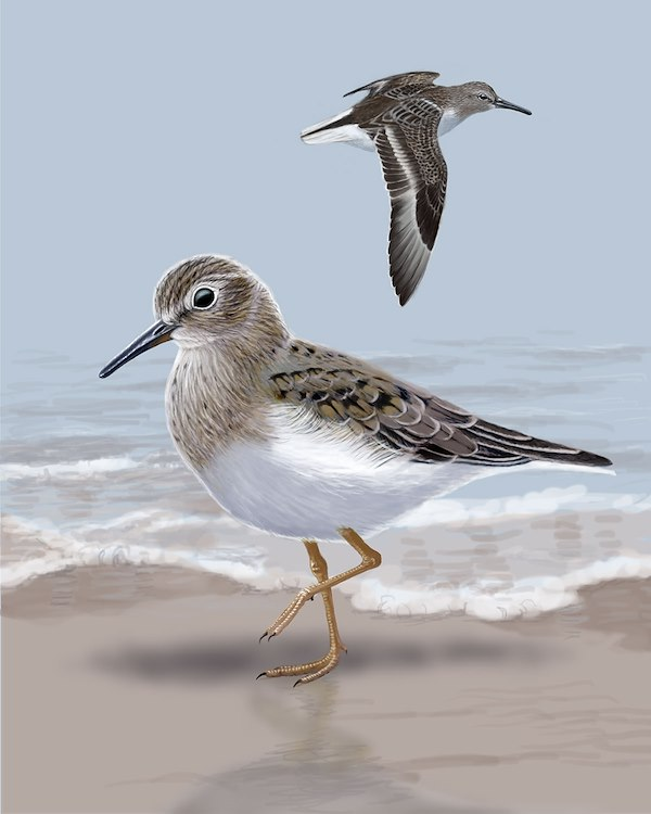Temminck's Stint_CEPortrait_1200