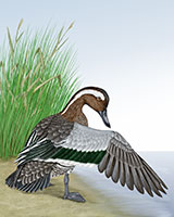 Garganey Thumbnail Large
