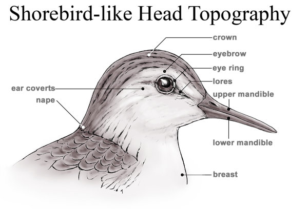 Sandpiper-like Head Topography