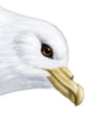 Fulmar Thumbnail Head Largest.png