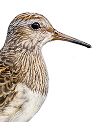 Pectoral Sandpiper Thumbnail Head Largest