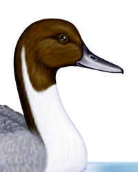 Pintail Thumbnail Head Largest