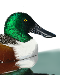 Shoveler Thumbnail Head Largest