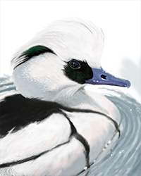 Smew Thumbnail Head Largest