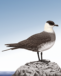 Arctic Skua Thumbnail Body Largest.png
