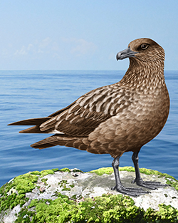 Great Skua Thumbnail Body Largest.png