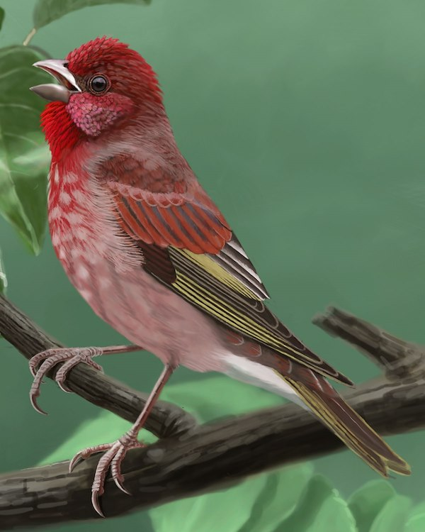Common Rosefinch Adult Male_CEVariation1_1200.jpg