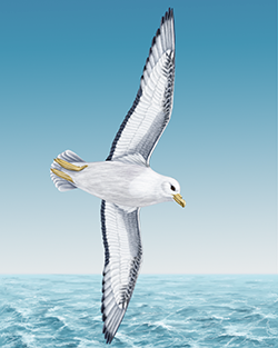 Fulmar Thumbnail Body Largest.png