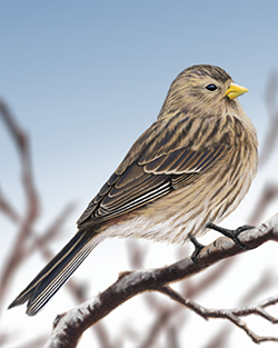 Twite Thumbnail Body Largest.png
