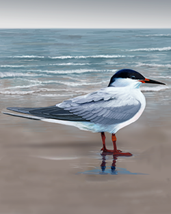 Roseate Tern Thumbnail Body Largest.png