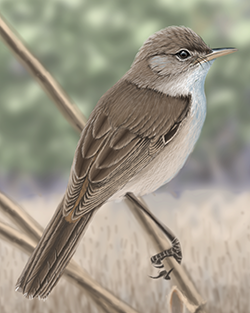 Reed Warbler Thumbnail Body Largest.png