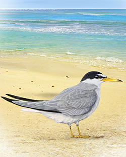 Little Tern Thumbnail Body Largest.png