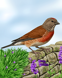 Linnet Thumbnail Body Largest.png