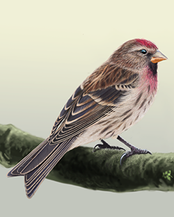 Lesser Redpoll Thumbnail Body Largest.png