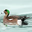 American Wigeon_CEIcon.jpg