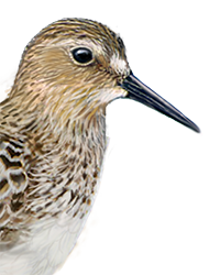 Baird's Sandpiper Thumbnail Head Largest.png