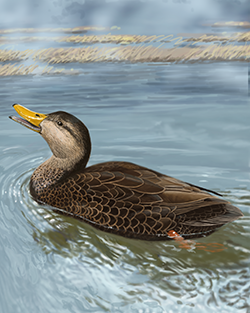 Black Duck Thumbnail Body Largest.png
