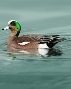 American Wigeon Thumbnail Body Largest.png