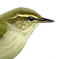 Arctic Warbler Head Illustration.jpg