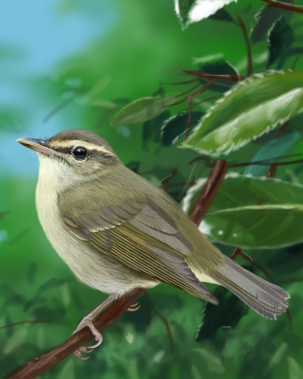Arctic Warbler Adult Fall_CEVariation2_1200.jpg