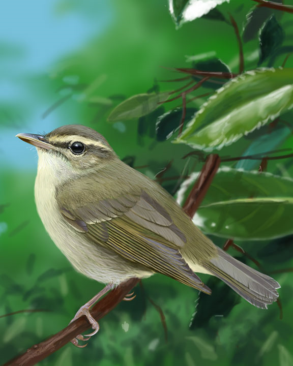 Arctic Warbler Adult Fall_CEVariation2_576.jpg
