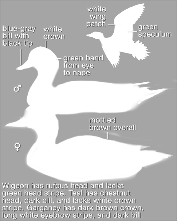 American Wigeon_mask_576.png
